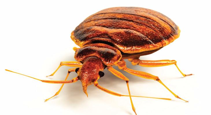 Види клопів: різновиди домашніх комах
