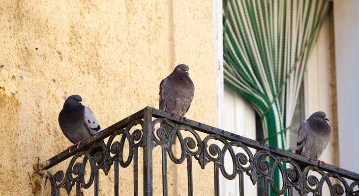 Як позбутися від голубів на балконі