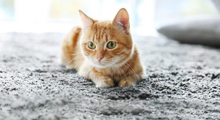 Як видалити запах котячої сечі з килима підручними засобами