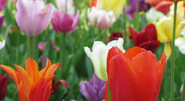 Як зберігати цибулини тюльпанів після цвітіння